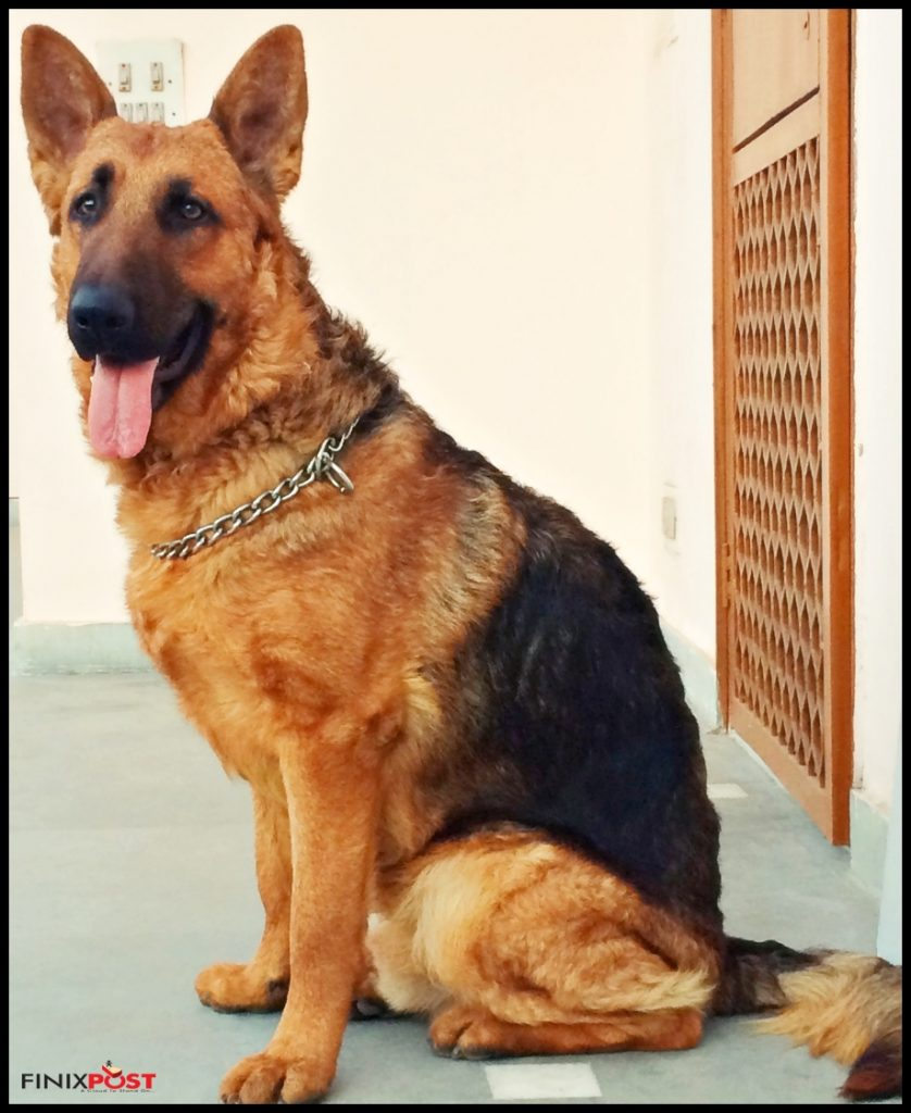 frodo the giant german shepherd