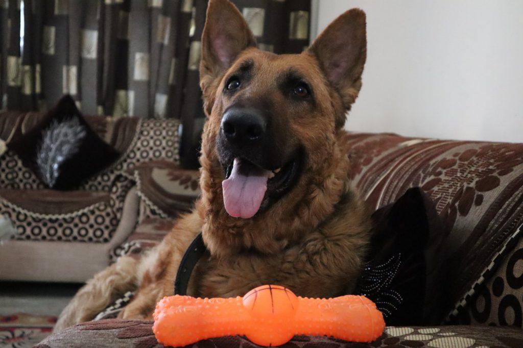 Dog owner german shephered